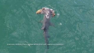 WPTV-HAMMERHEAD-SHARK-GOLIATH-GROUPER-SINGER-ISLAND.jpg