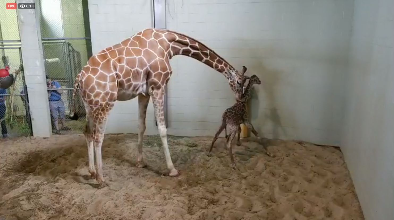Giraffe Calf arrives at Cheyenne Mountain Zoo