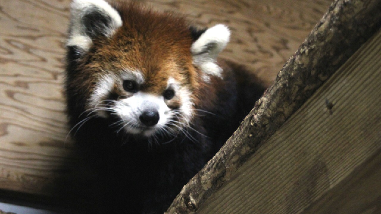 Move over, Fiona: Zoo welcomes baby red panda