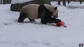 Video Extra: Pandas play in season's first snow