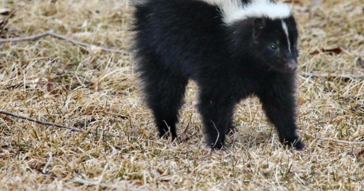 Cochise County sheriff warns of rabid skunks
