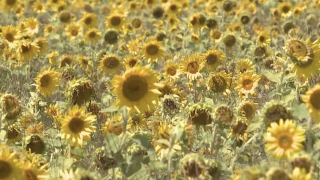 Zeeland sunflower field a local treasure