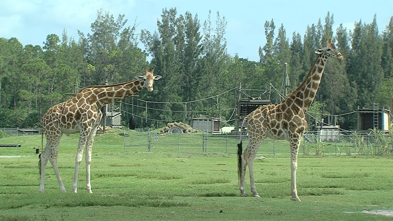 Giraffes killed by lightning strike at a Florida safari, park officials confirm