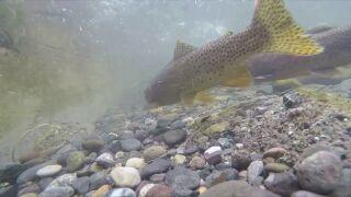 Fish in Montana