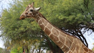 Reid Park Zoo giraffe