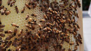 Arizona man registers beehive as emotional support animal