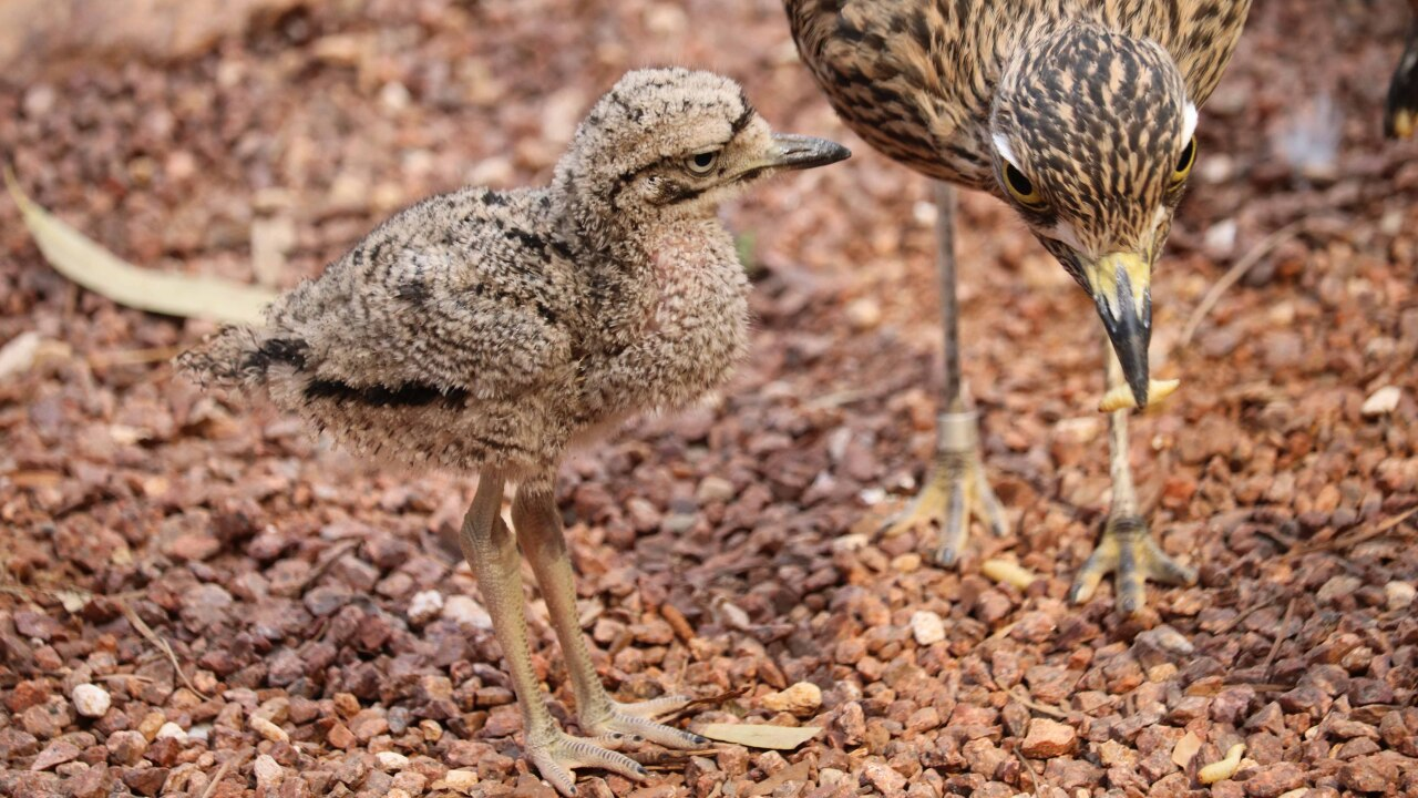 Cape thick-knee chick at Omaha's Zoo and Aquarium