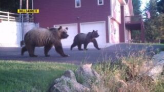 What is killing Montana's grizzly bears? Humans and bullets, biologists say