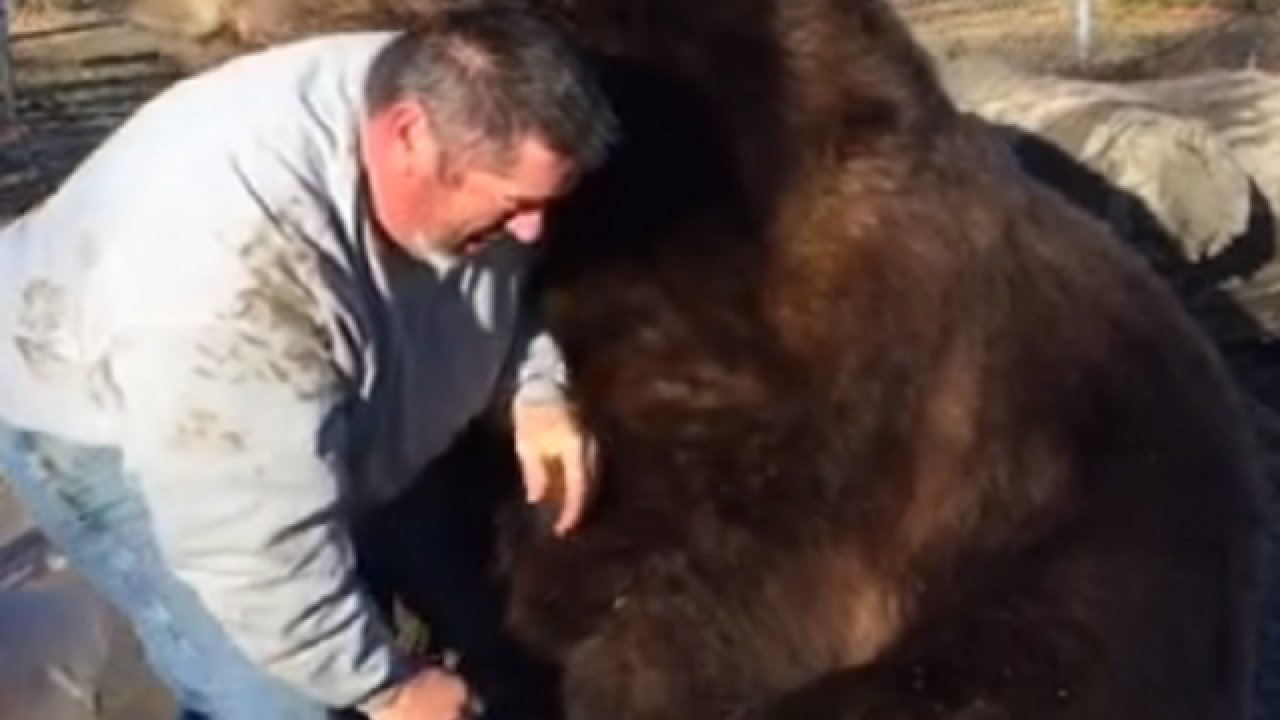 WATCH: N.Y. man cuddles with 1500-pound bear