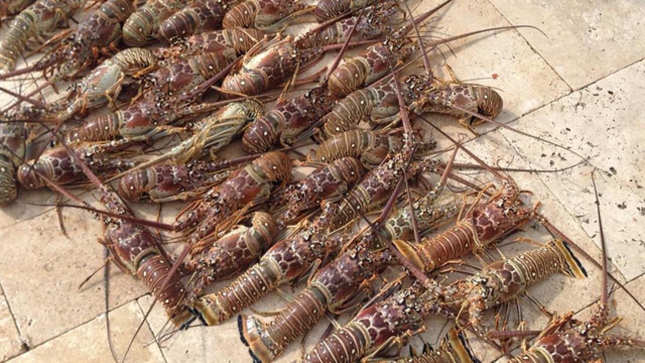 Lobster mini season Wednesday and Thursday