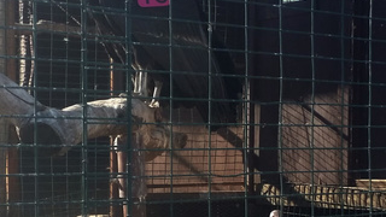 Condors released into the wild in Kern County