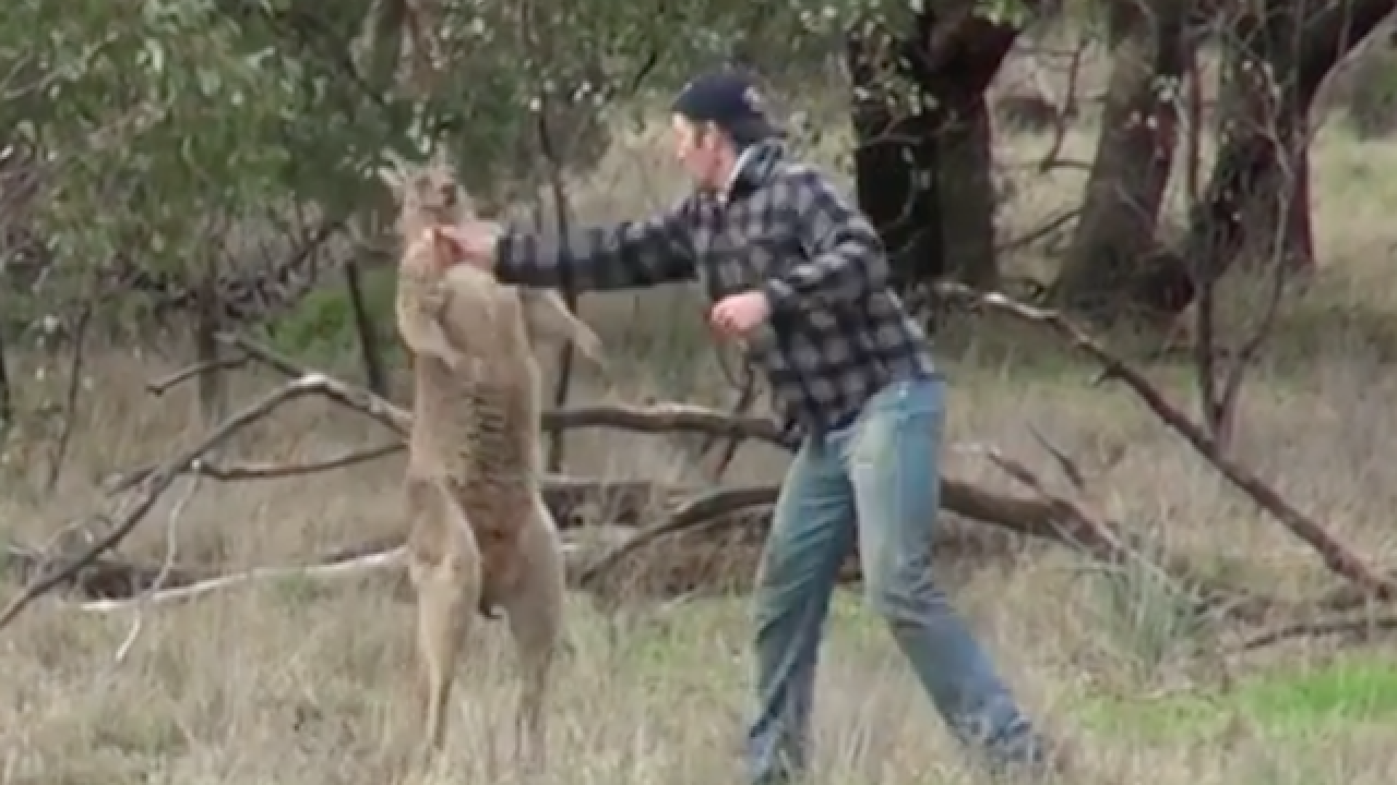 Video shows man punching kangaroo to save dog