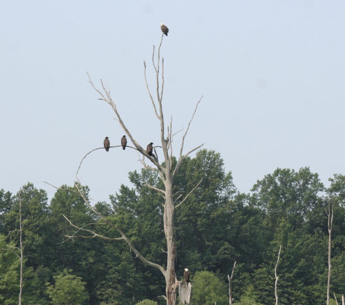 Bald eagles Sandy Ridge Reservation