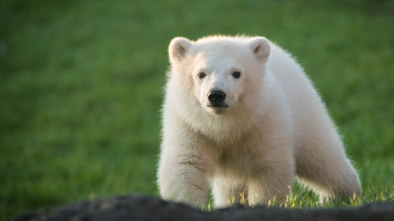Cute polar bear makes public appearance