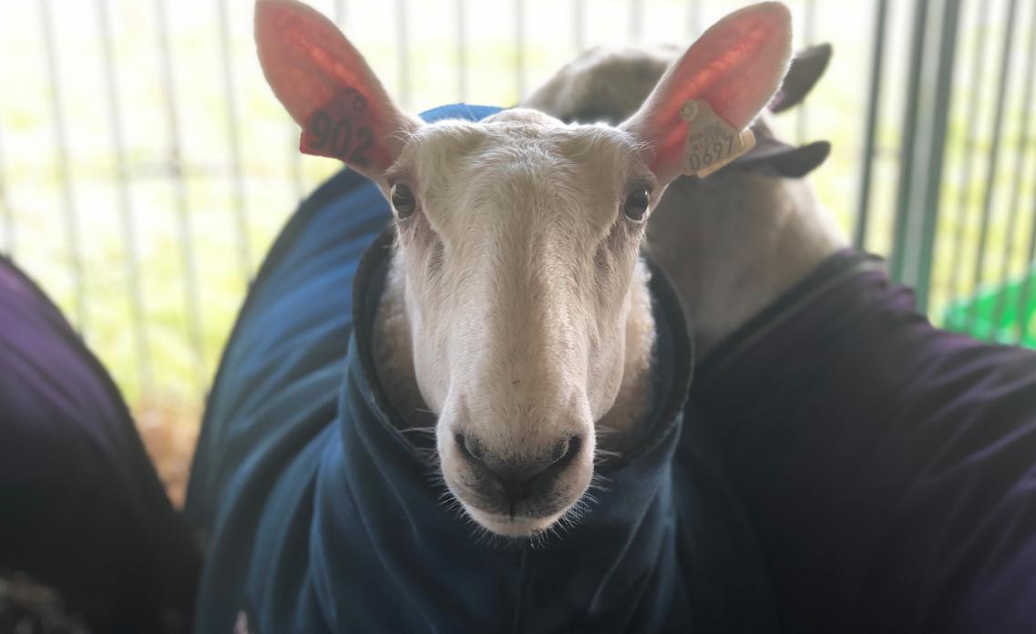 Sheep at Waukesha County Fair