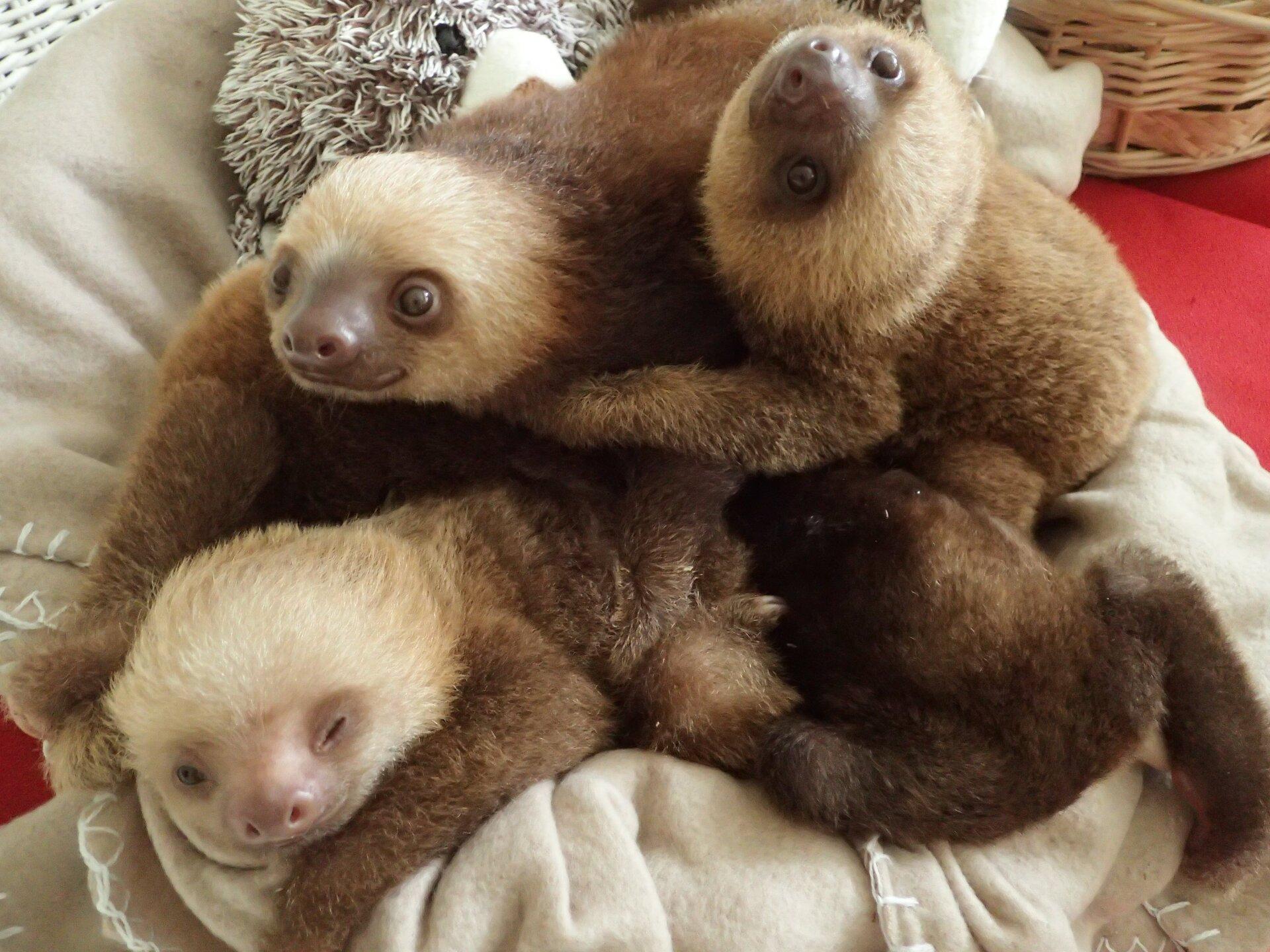 Baby Sloths (11).JPG