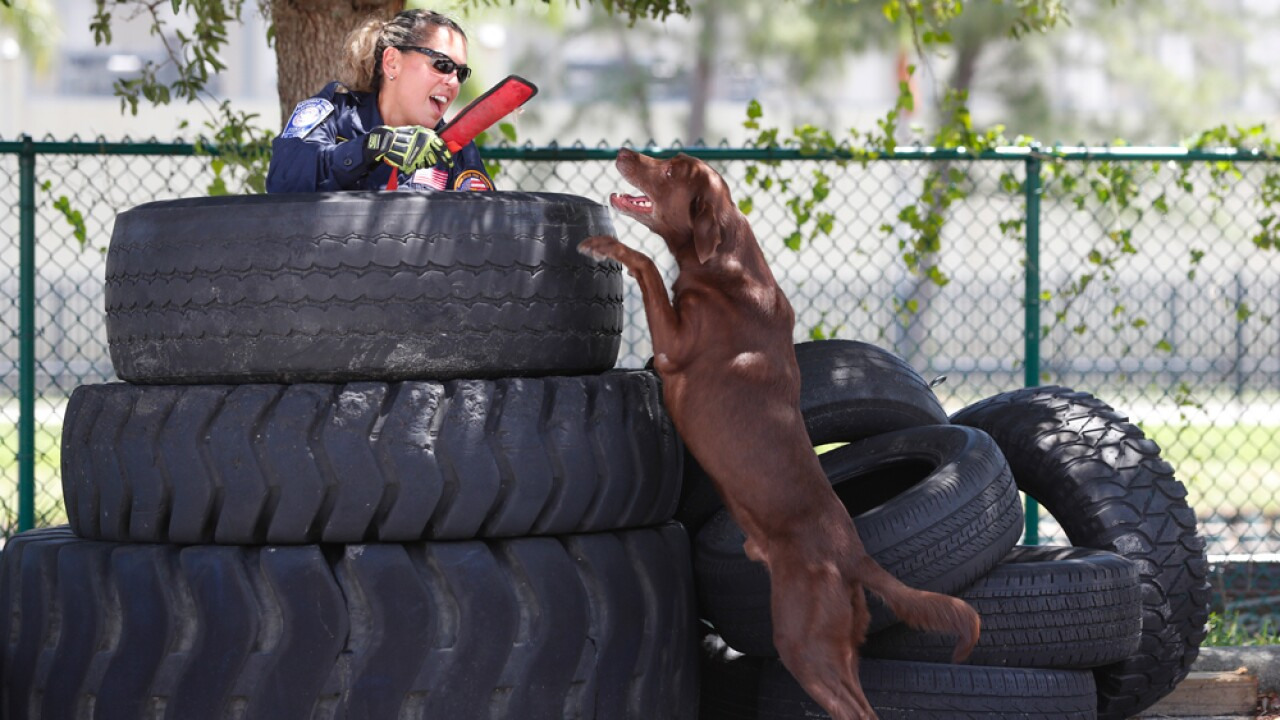 Miami-Dade firefighter/paramedic Maggie Castro gives up and hands a toy to search-and-rescue dog Zeus after the chocolate Labrador found her hiding in a stack of tires during a demonstration, Wednesday, June 19, 2019, at the Miami-Dade Fire Rescue Training Facility in Miami. Specializing in urban search and rescue, the Miami-based, 210-personnel Florida Task Force 1 have responded to numerous disasters, including the Florida Panhandle after Hurricane Michael and in Haiti after the 2010 earthquake.