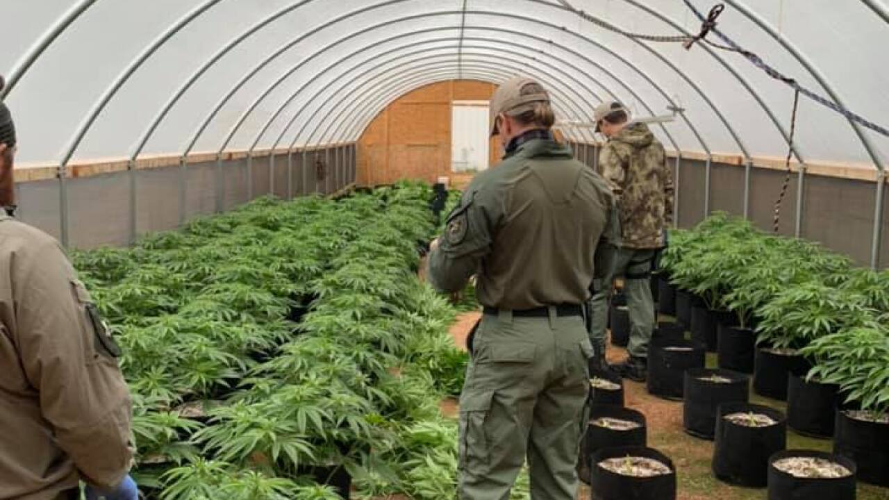 Illegal medical marijuana grows
