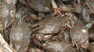 Blue crab population drops in ChesapeakeBay