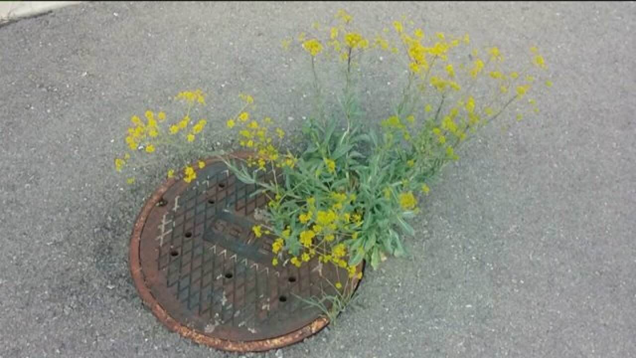 Experts say outdoor enthusiasts may inadvertently be spreading invasive weed inUtah