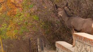 Helena Urban Deer Survey
