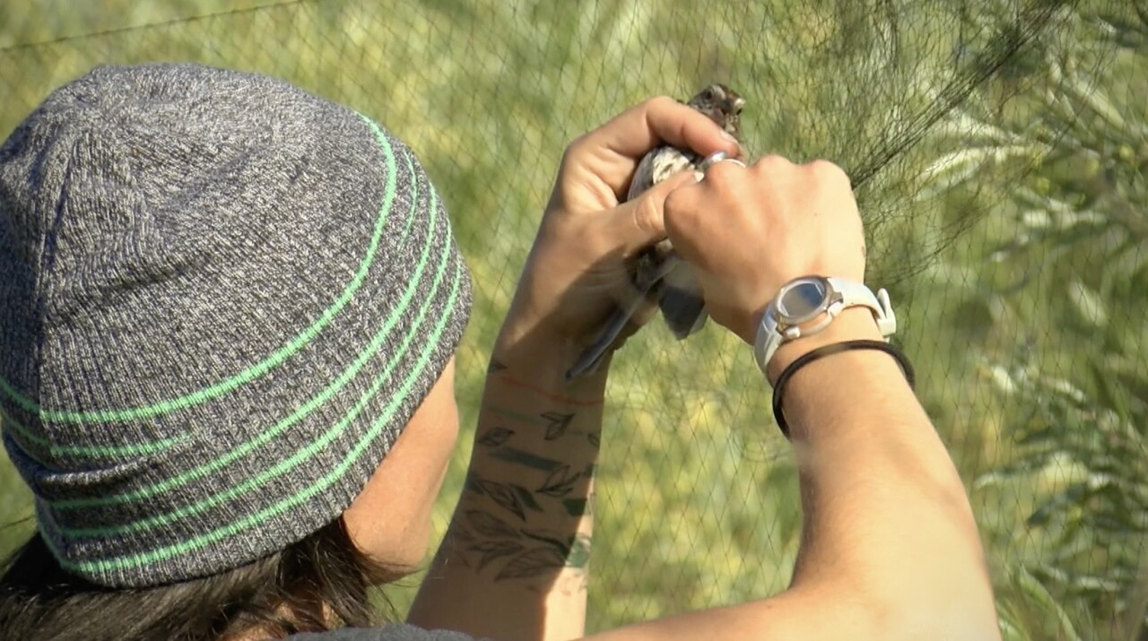 Avian Field Technician Boo Curry untangles captured bird for science