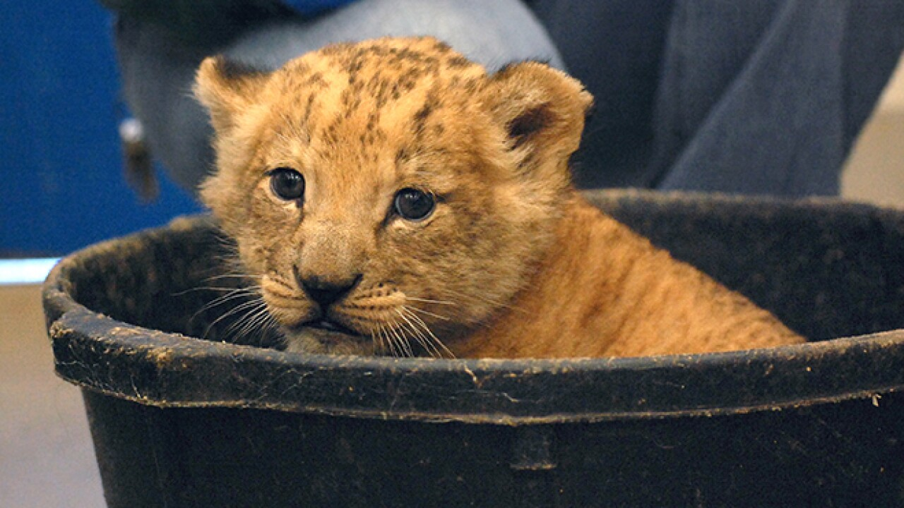 Virginia Zoo's newest lion cub goes on exhibit