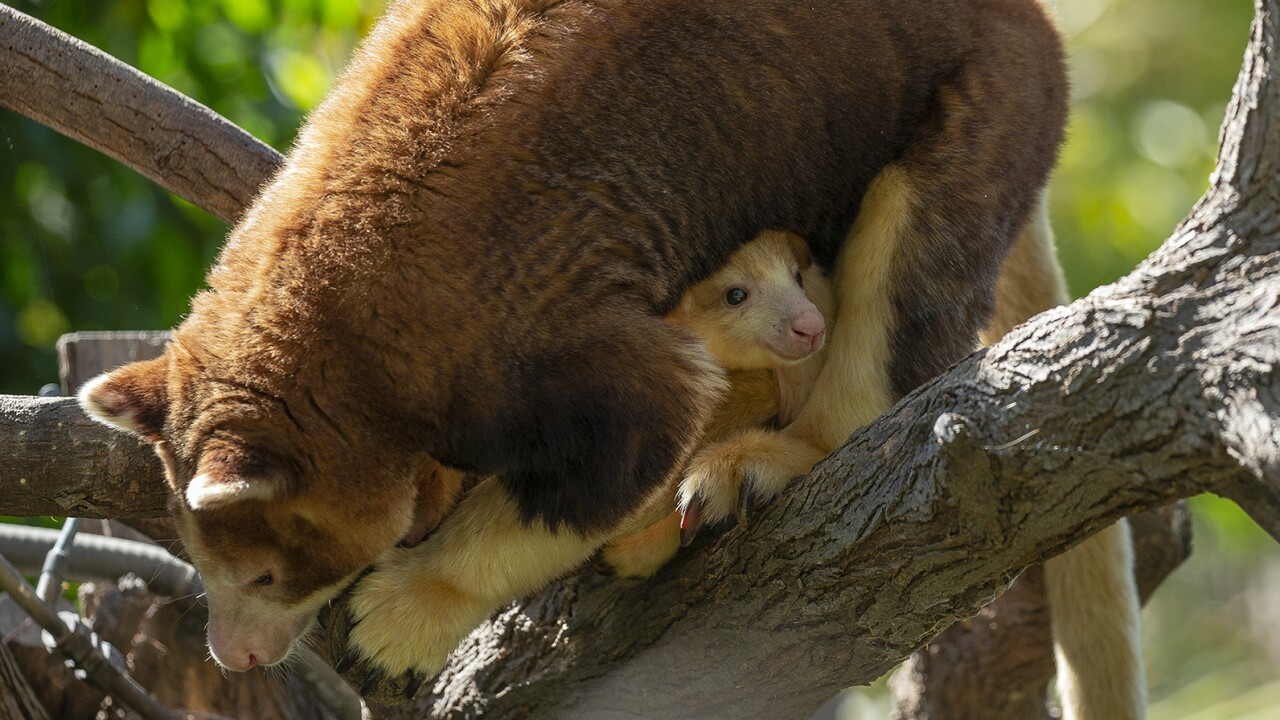 Endangered Matschie's Tree Kangaroo Joey Peeking from Mom's Pouch at the San Diego Zoo Safari ParkA 7-month-old female endangered Matschie's tree kangaroo can now be seen peering out of the pouch of her mother, Polly, at the San Diego Zoo Safari