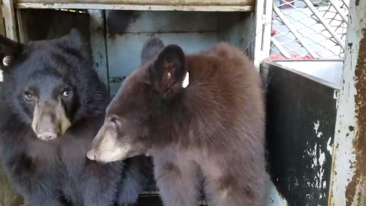 Bear cubs  captured
