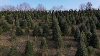 'Shop early': US Christmas trees supplies tight, prices up