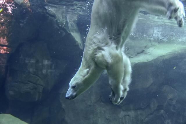 Maryland Zoo's new polar bears make their debut