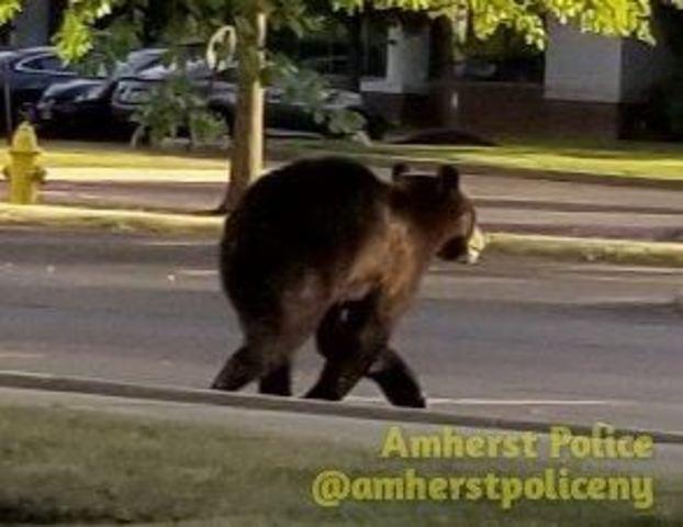 Amherst/North Tonawanda bear sighting gallery
