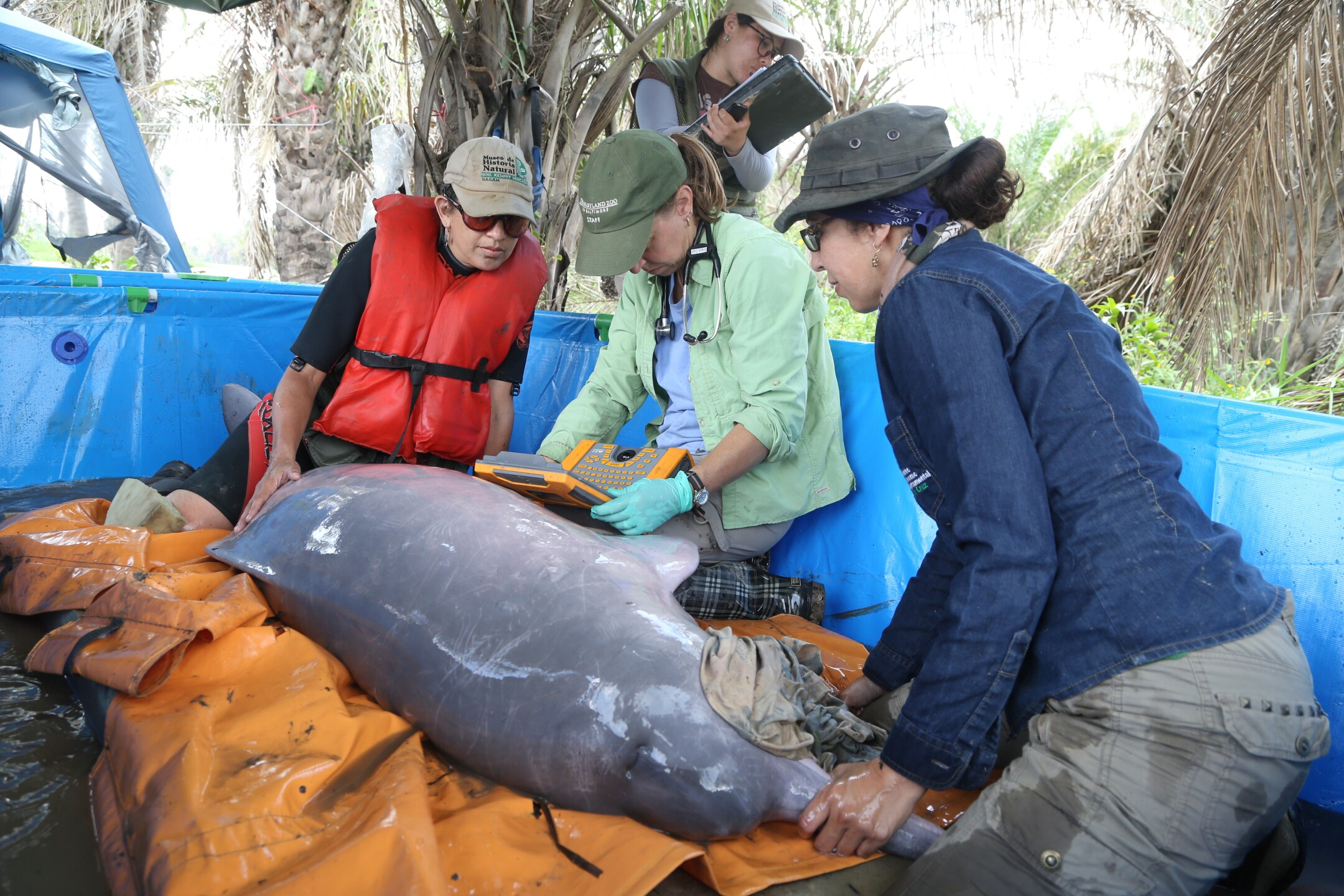 Dr. Ellen Bronson performs an ultrasound scan on a Bolivian river dolphin - The Maryland Zoo.JPG