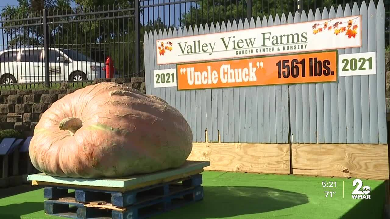 1,500+ pound pumpkin on display at Valley View Farms