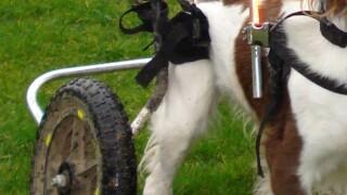 dog_wheelchair.jpg