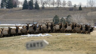 elk herd on golf course