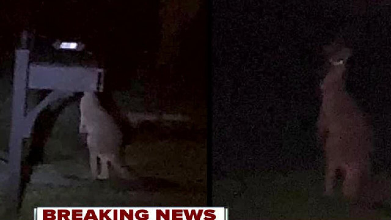Missing kangaroo found in Jupiter Farms