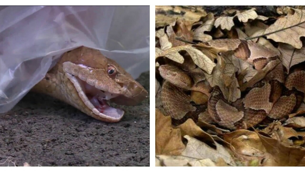 Va. copperhead problem 'supersedes' last year, expertsays