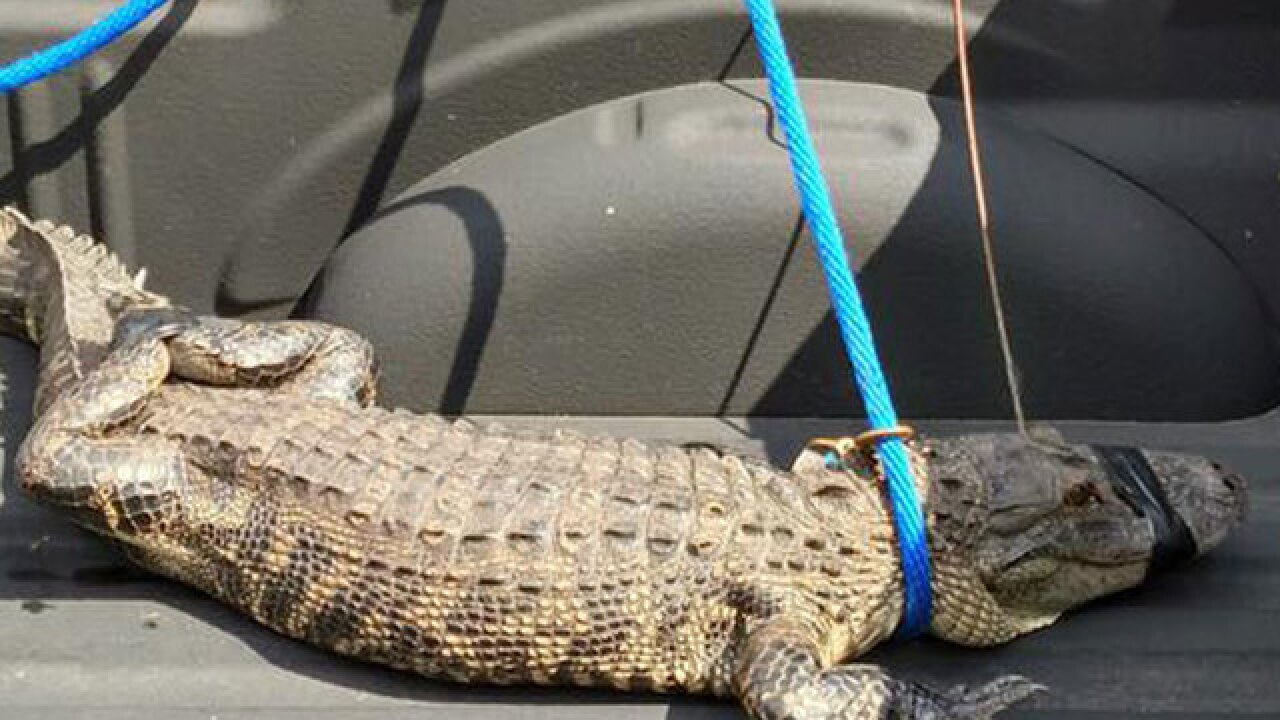 Alligator found wandering through Indiantown neighborhood captured and released