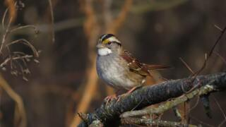 Study: Songbirds changing their tune during pandemic shutdowns