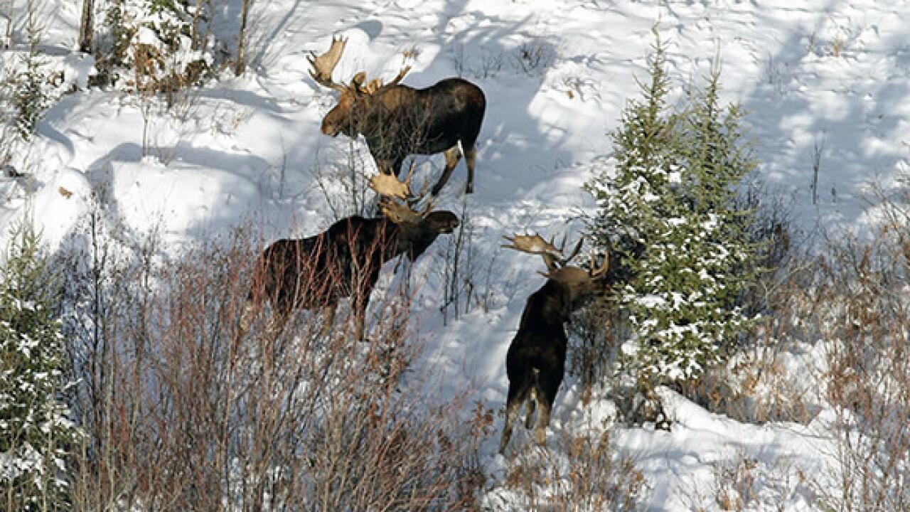 Moose population in Michigan estimated at 509