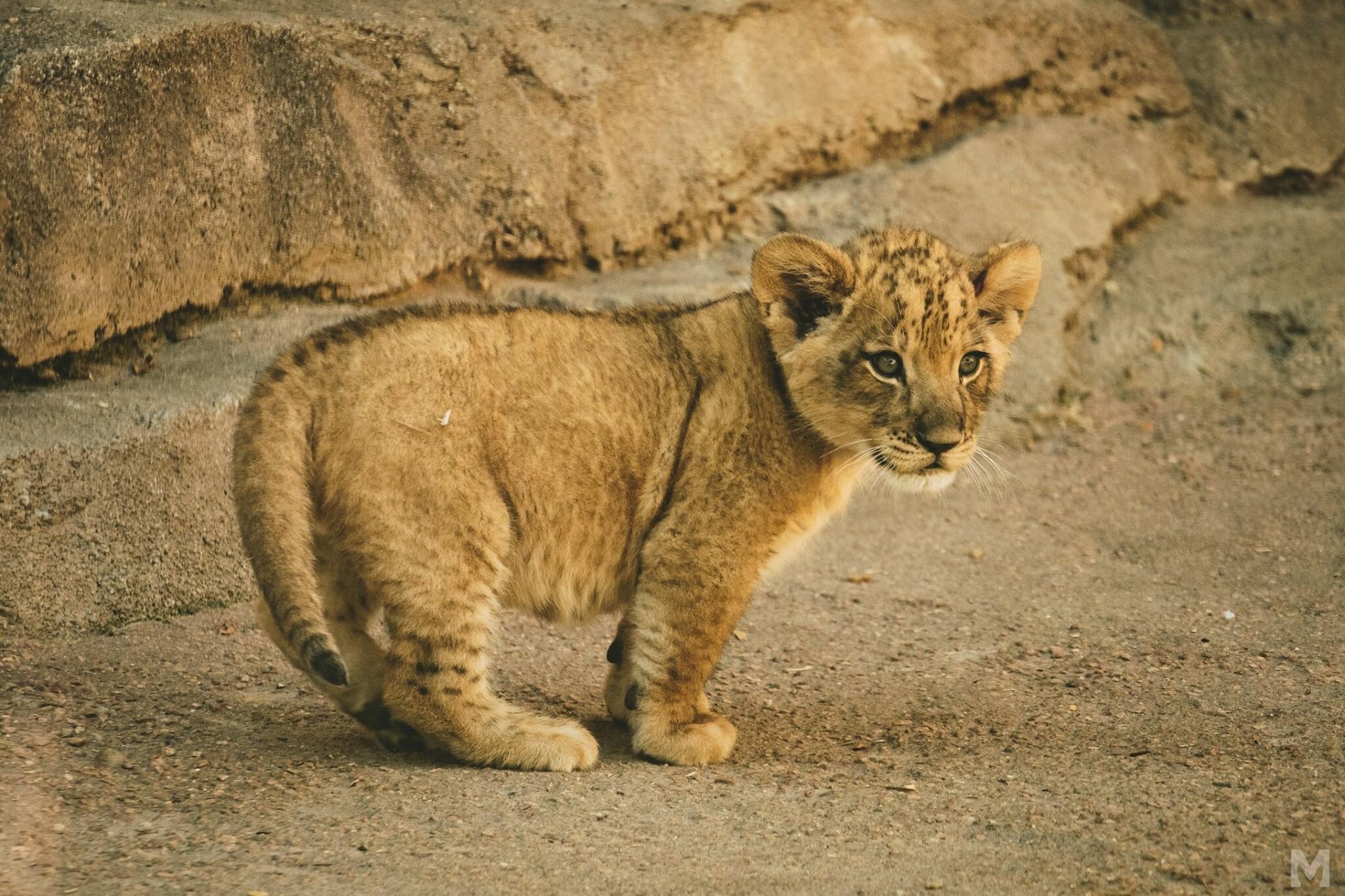 Lion Cub_13_Molly McCormick.jpg