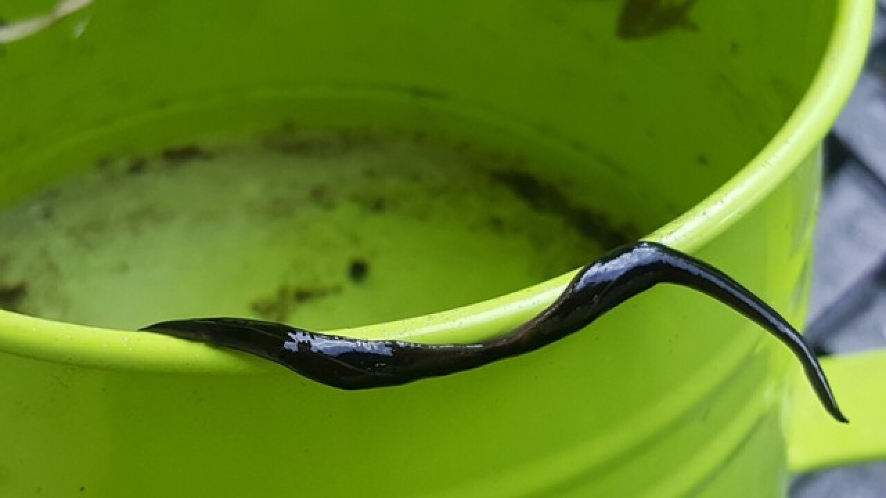 Invasive, dangerous worms found in Florida