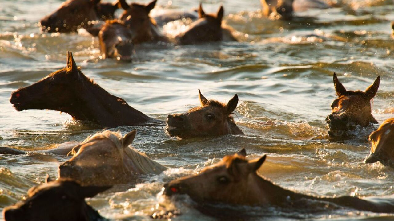 Thousands attend 92nd annual Chincoteague Pony Swim