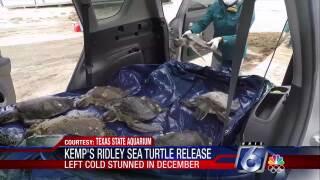 Last of Kemp's ridley sea turtles back in ocean