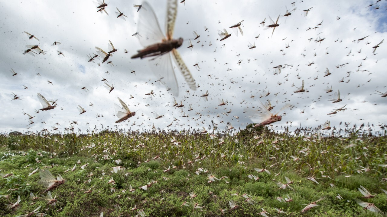 Photos: 'Even cows are wondering what is happening': Locust swarms in Africa are worst in decades