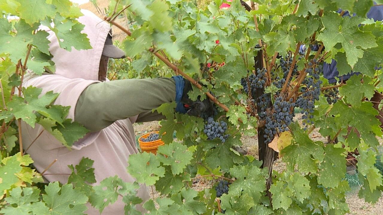 grape picking .jpg