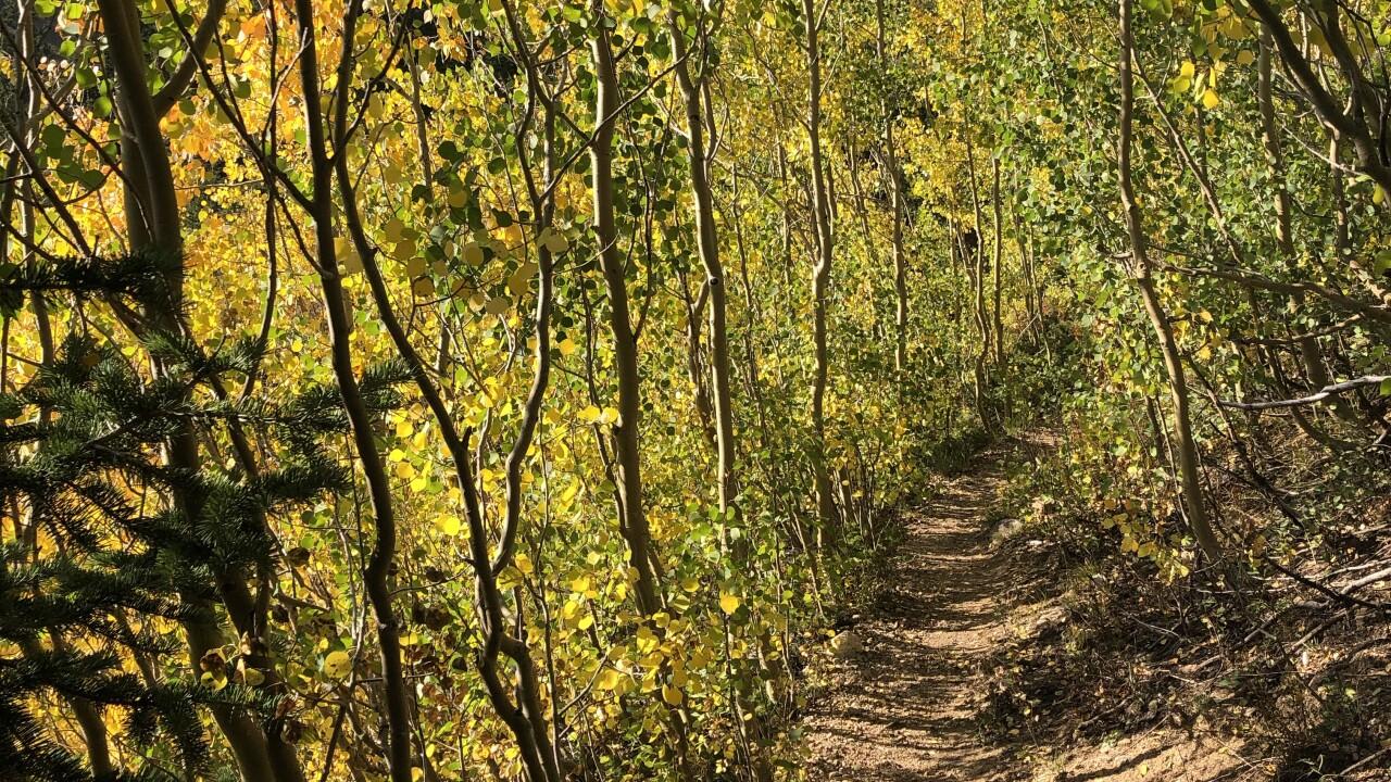 Gold aspen leaves_Watrous Gulch Trail and Bard Creek Trail_Sept 7 2021