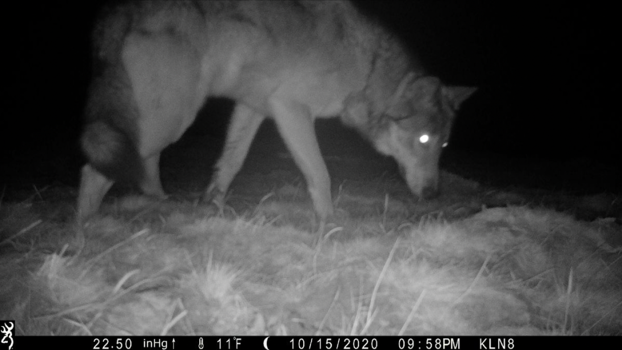 Colorado Parks and Wildlife provides details on gray wolves following passage of Proposition 114