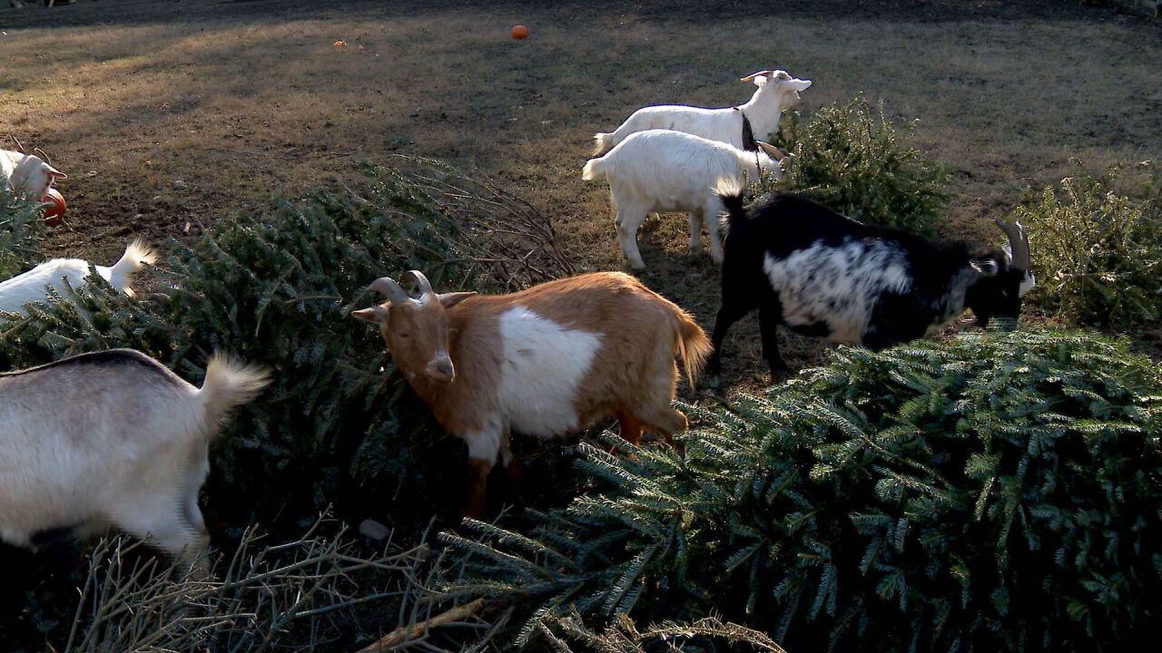 AM HILT CHRISTMAS TREES FOR GOATS PKG.transfer_frame_2382.jpeg